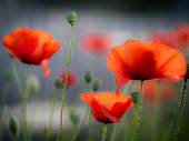 Close up of three red Poppies with blurred background