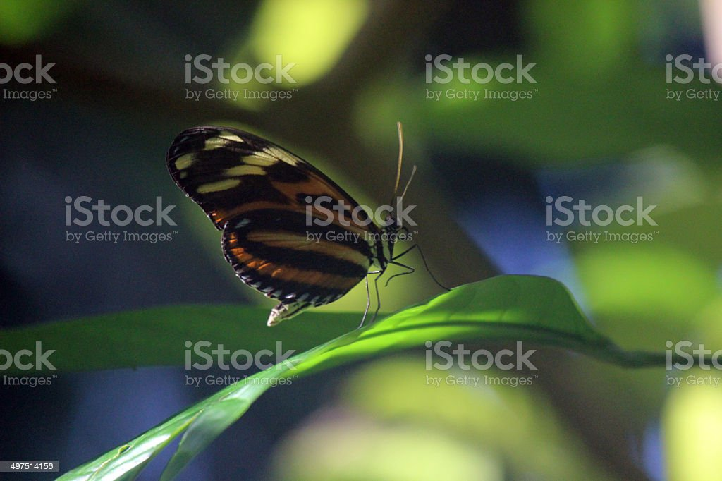Close Up of Tiger Longwing Butterfly stock photo
