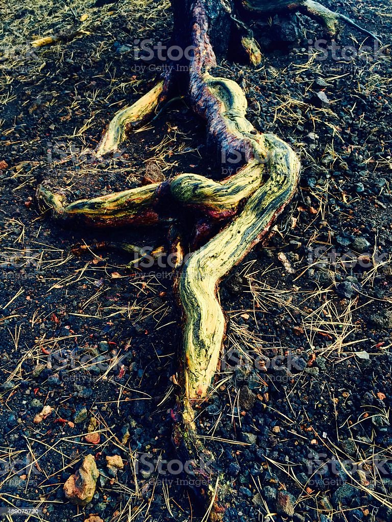 Close up of tree roots in the forest royalty-free stock photo