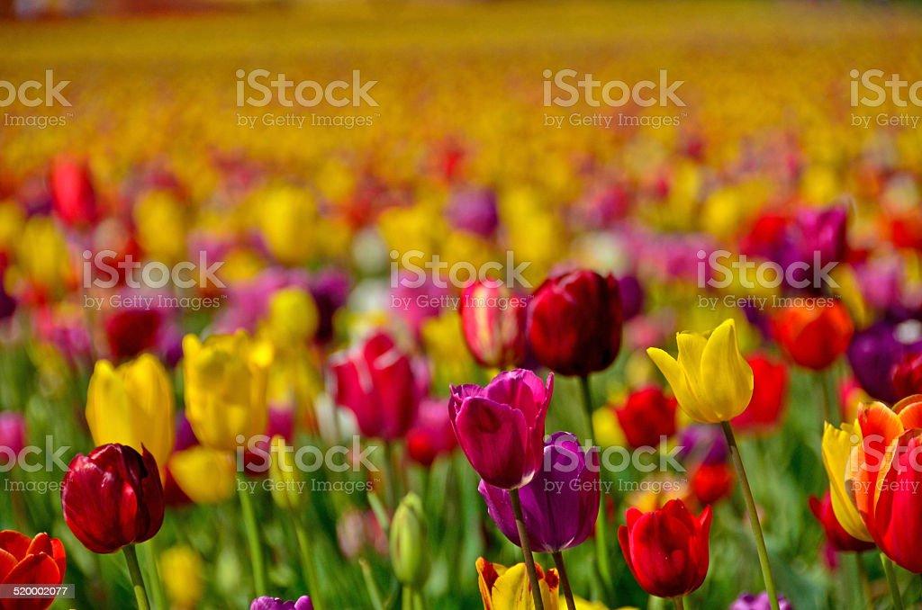 Крупным планом тюльпан поле в штате Орегон Стоковые фото Стоковая фотография