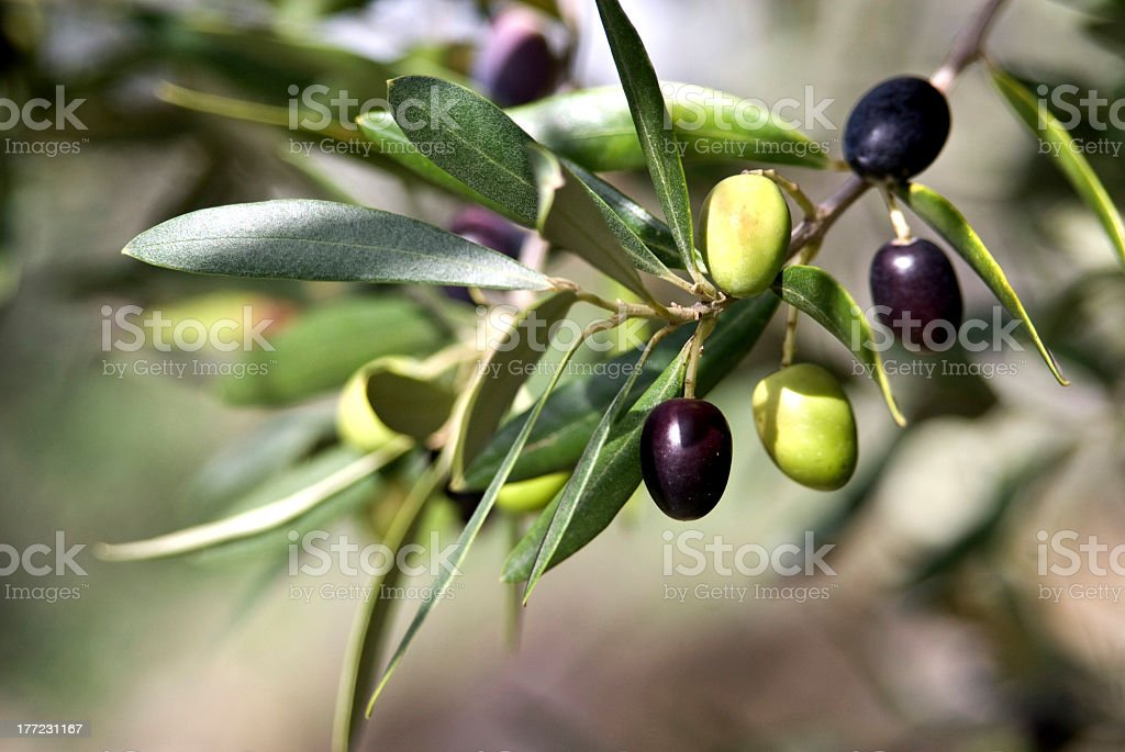 Close up of Tuscan Olive branch hanging from tree stock photo