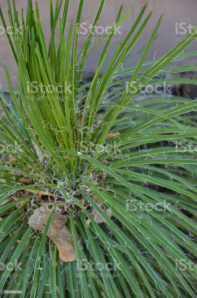 Close up of Twin Flowering Agave (Agave Geminiflora) royalty-free stock photo