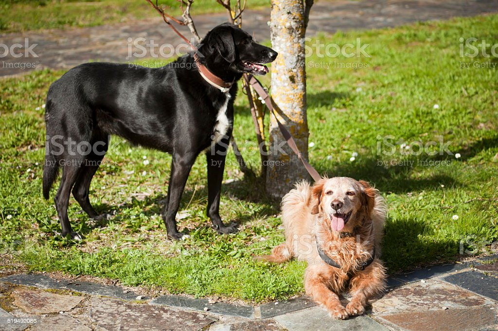 Close up of two dogs on sunny meadow. stock photo