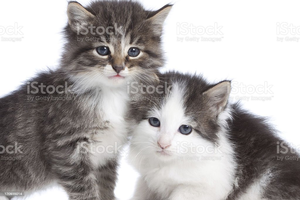 Close up of Two Kittens Isolated on White Background stock photo