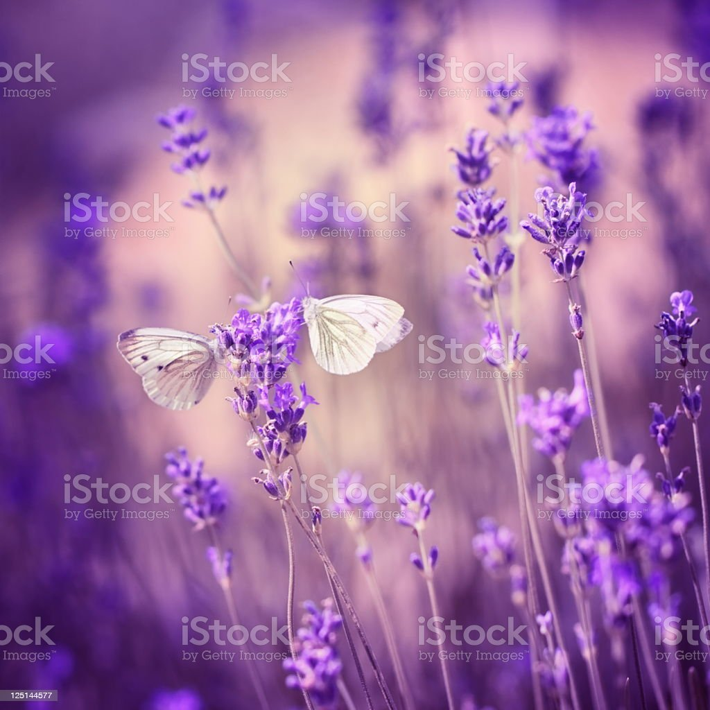 Close up of two moths on a lavender flower royalty-free stock photo