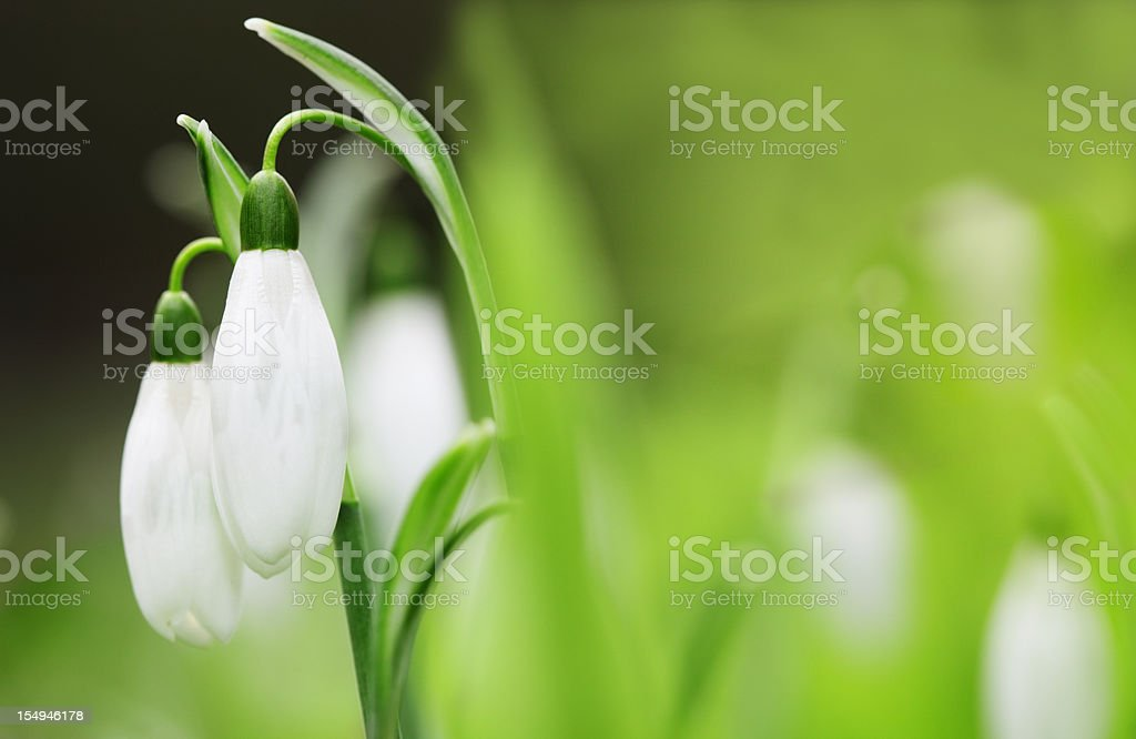 Close up of two snowdrops still on stem stock photo