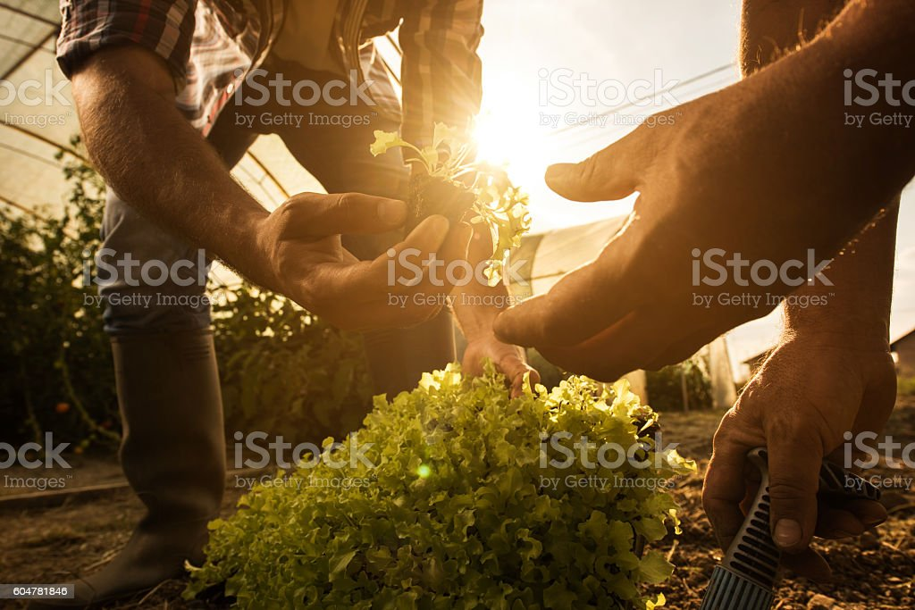Close up of unrecognizable farmers working in vegetable garden. stock photo