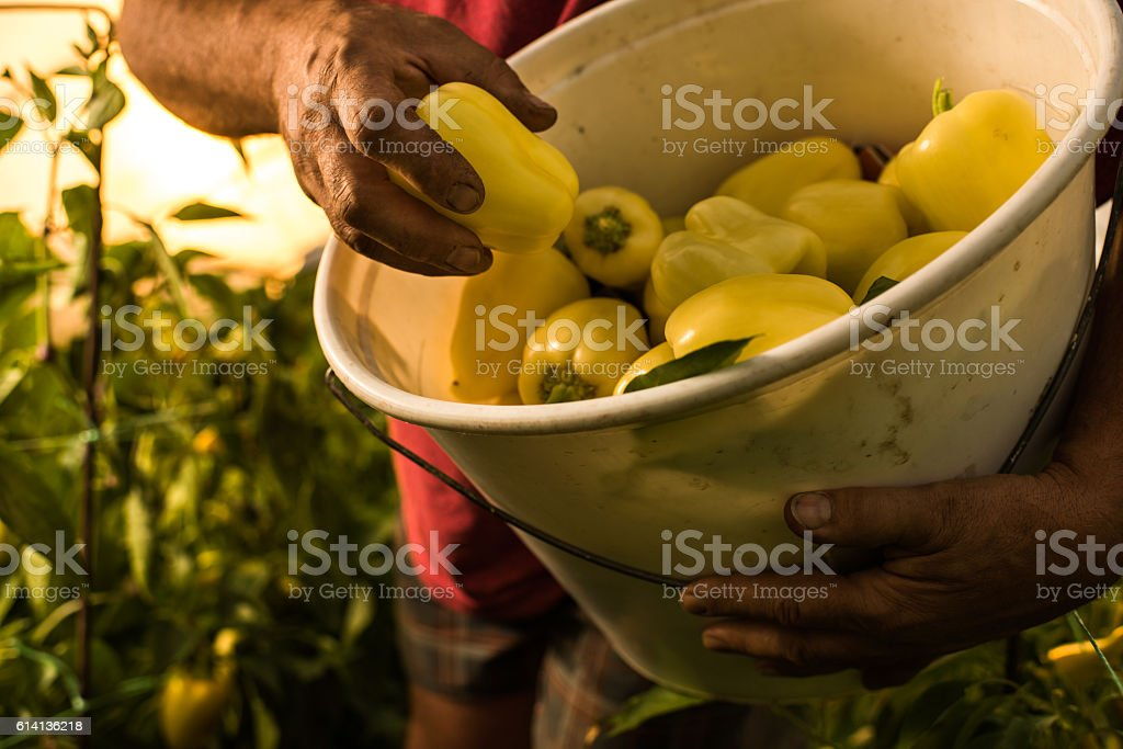 Close up of unrecognizable person with homegrown pepper. stock photo
