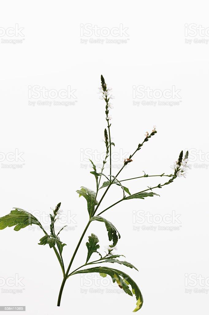 Close up of verbena flowers stock photo