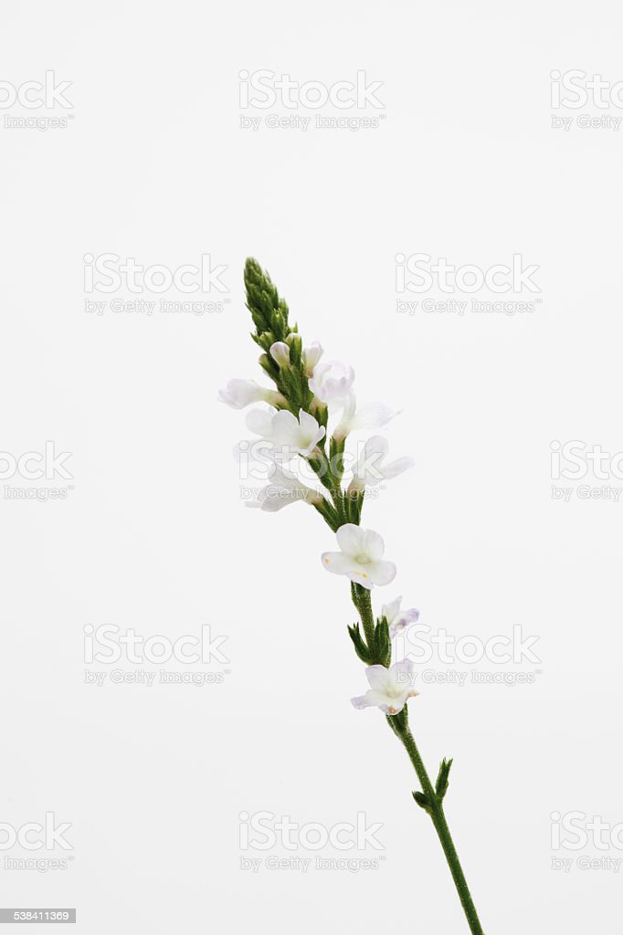 Close up of verbena flowers stock photo
