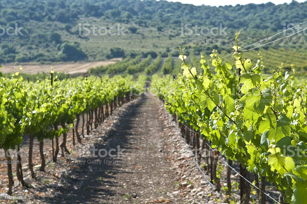 close up of vineyard leaves royalty-free stock photo