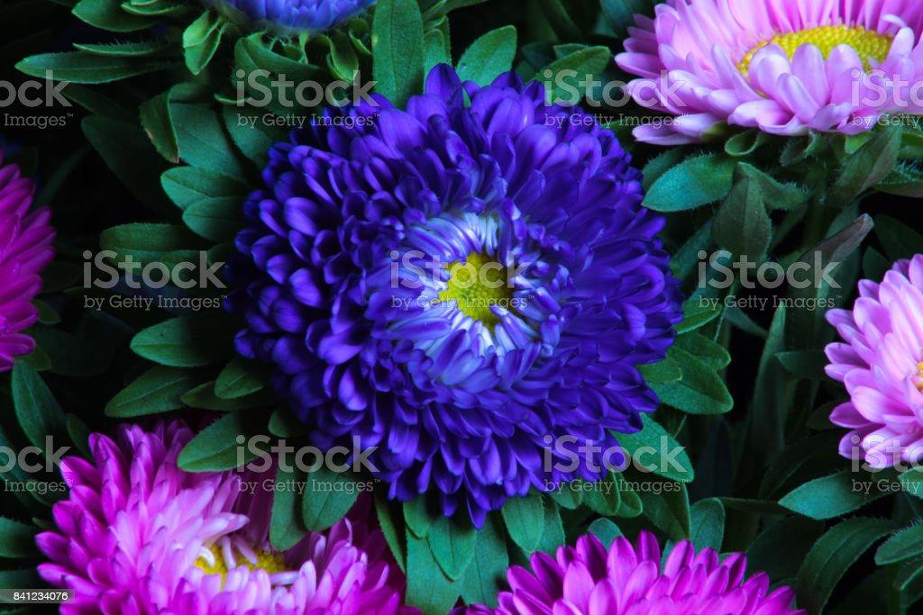 Close up of violet Chrysanths (Chrysanthemum). stock photo