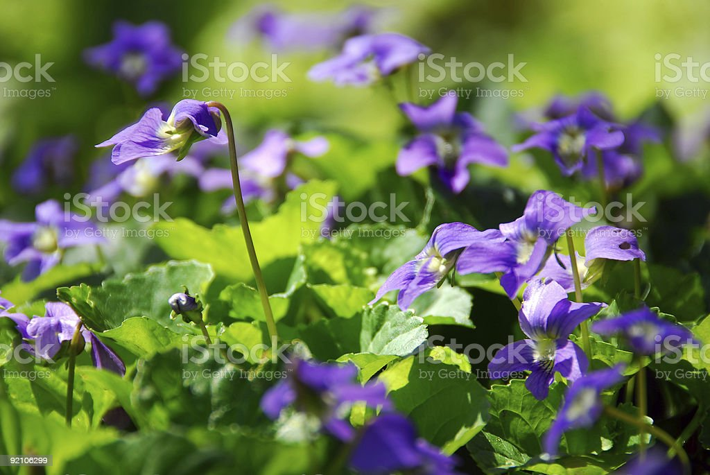 Close up of violets outside in sunlight royalty-free stock photo