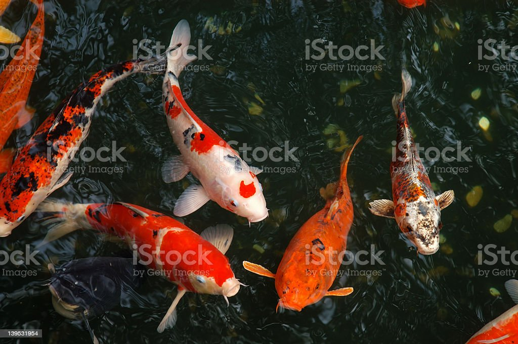 Close up of vivid orange and white koi fish in a pond stock photo