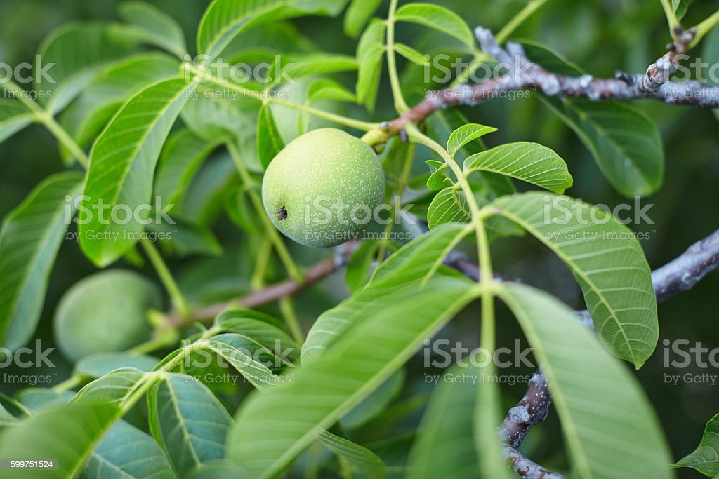 Close up of walnuts on tree branch stock photo