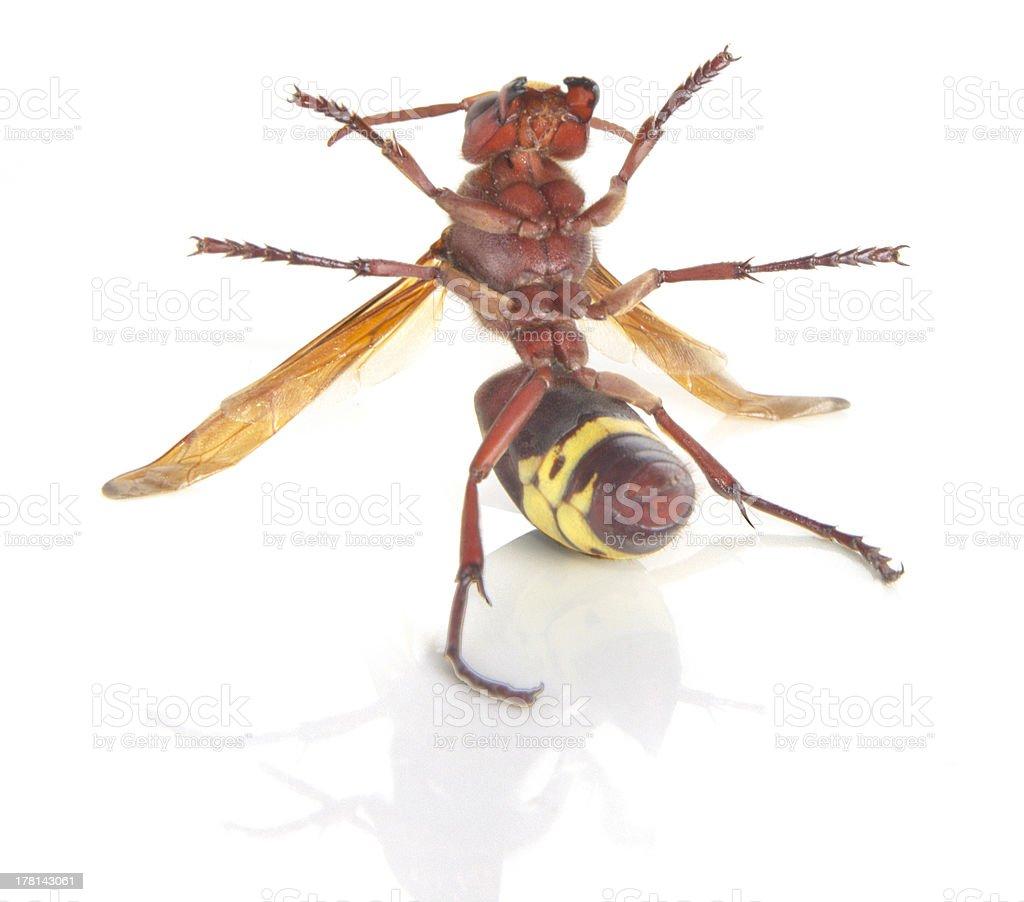 Close up of wasp royalty-free stock photo