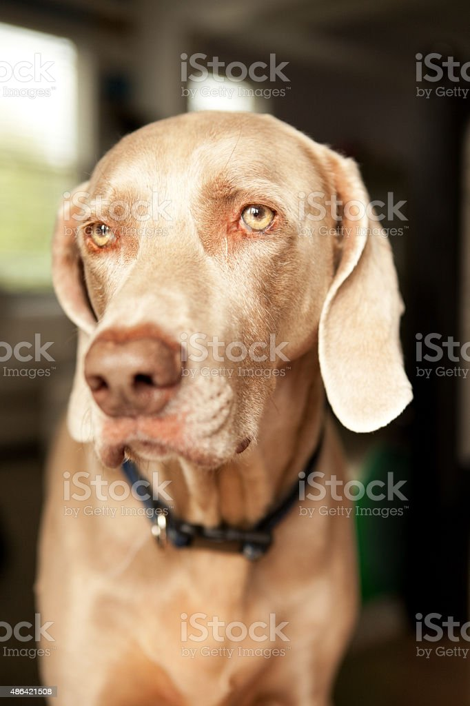 Close Up Of Weimaraner Dog stock photo