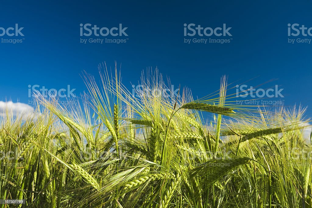 Close up of wheat in a field with blue skies royalty-free stock photo