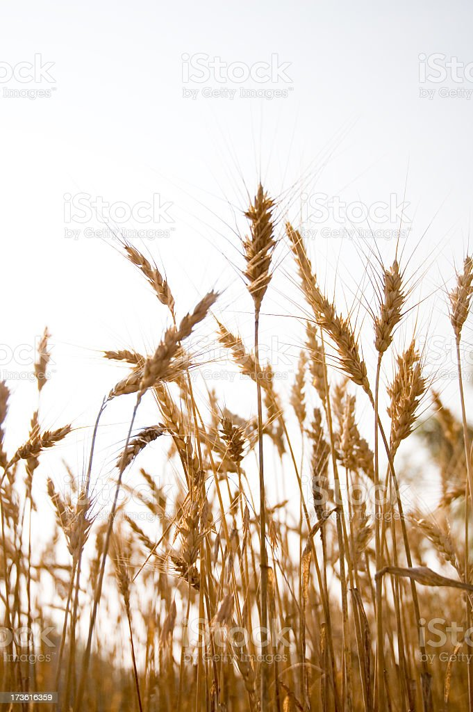Close up of wheat in a large field royalty-free stock photo