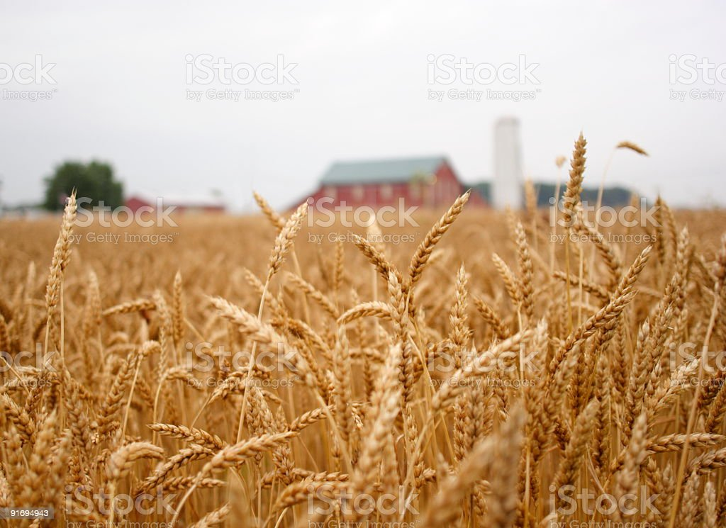 Close up of wheat in a large field stock photo