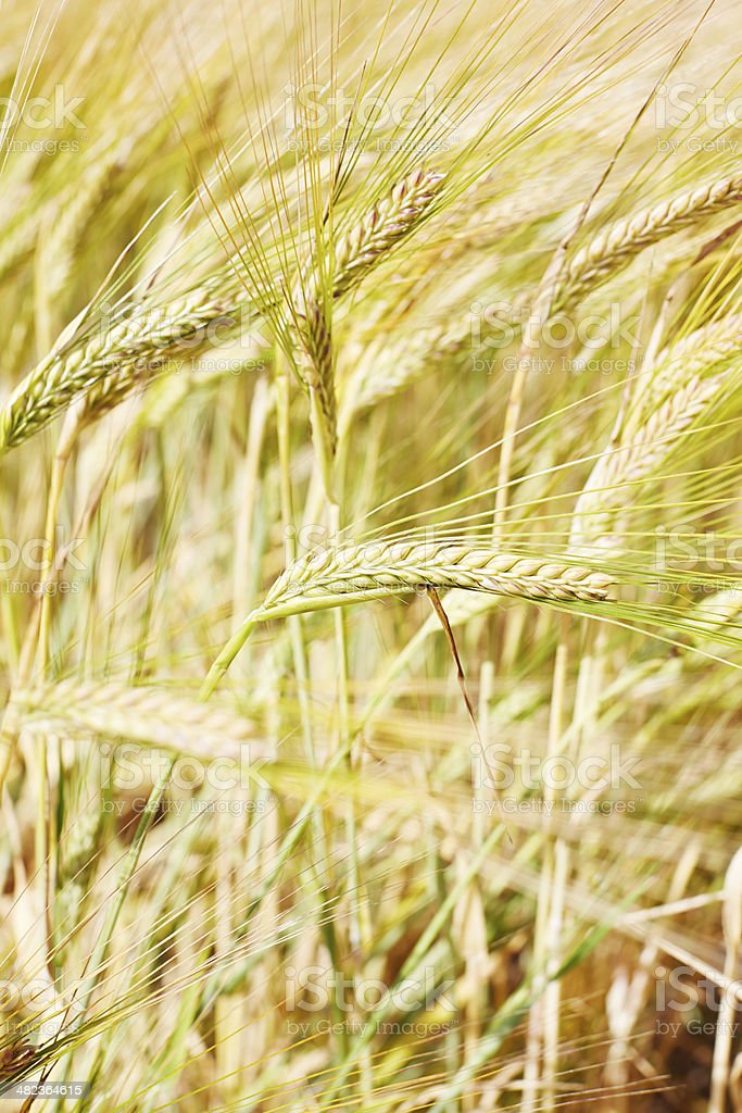 Close up of wheat in field royalty-free stock photo