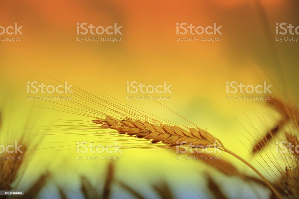 Close up of wheat in the evening royalty-free stock photo