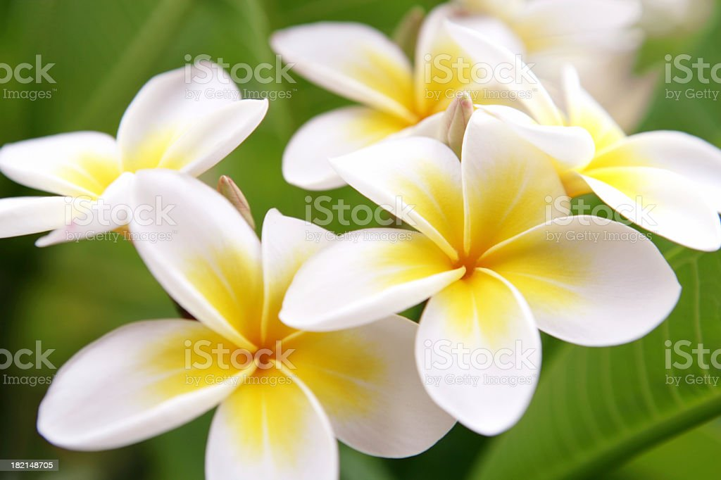 Close up of white and yellow Plumeria flowers blooming stock photo