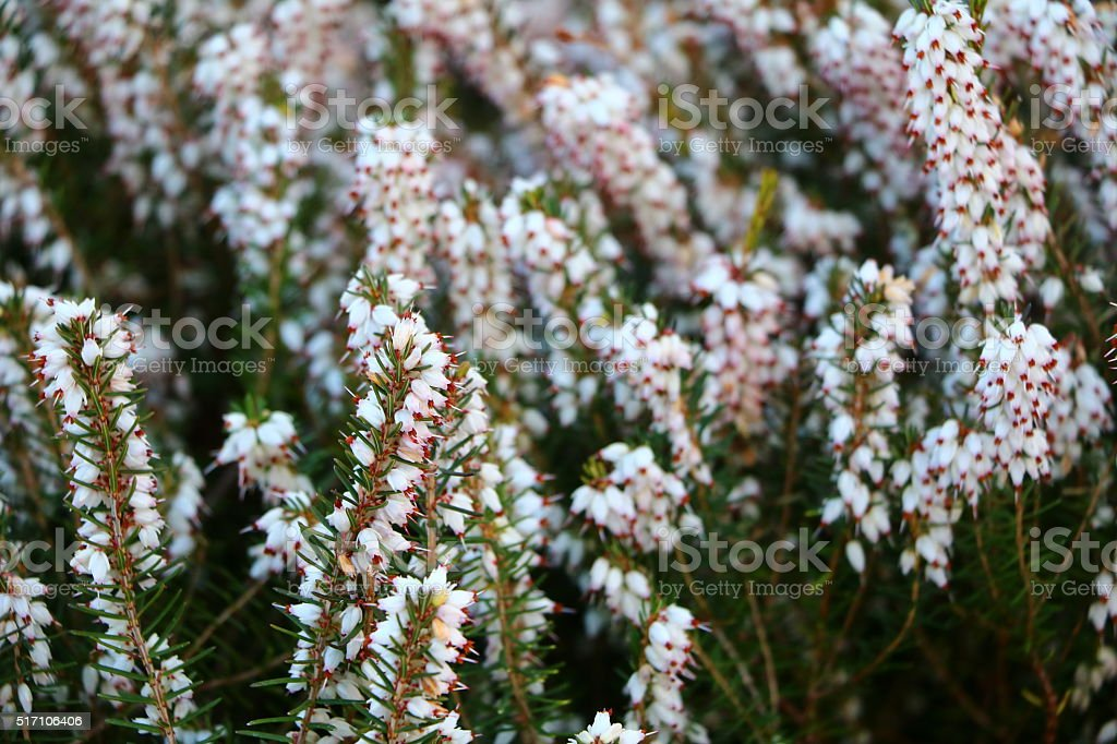Close up of  white blooming Heather in spring stock photo