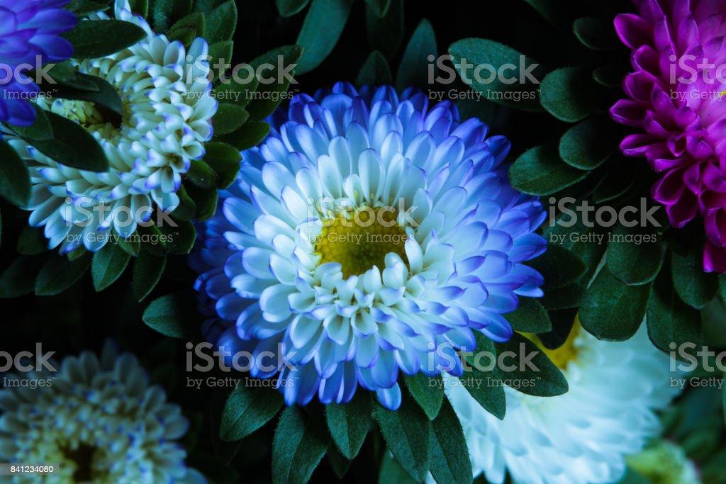 Close up of white Chrysanths (Chrysanthemum). stock photo