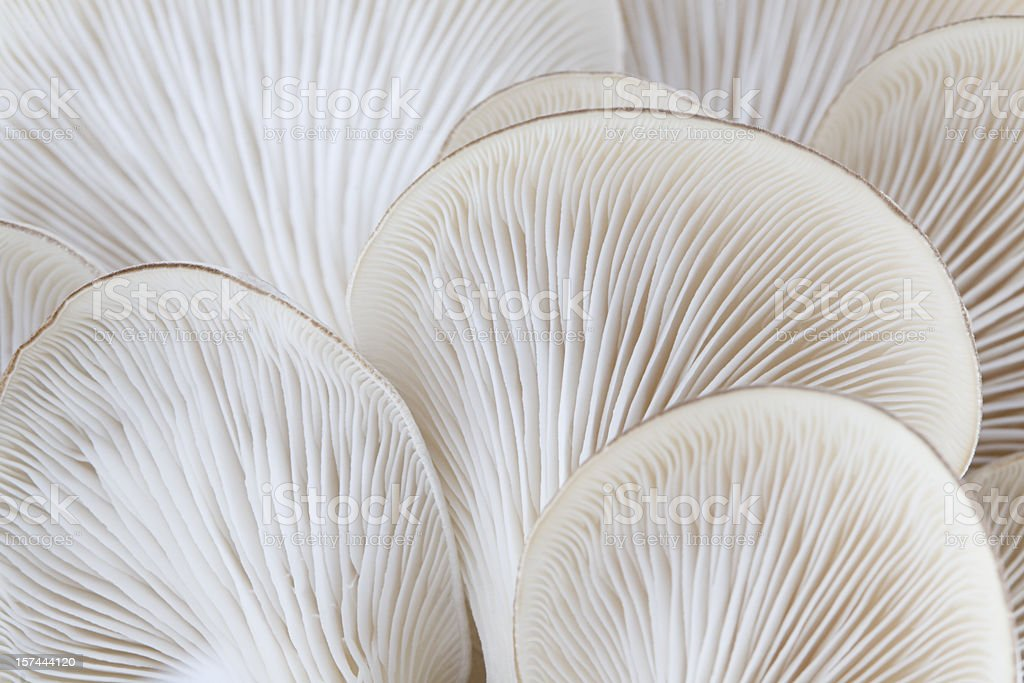 Close up of white colored Oyster mushroom stock photo