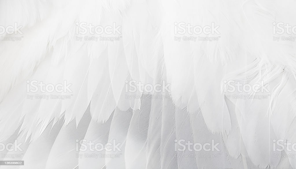 Close up of white feathered wing stock photo