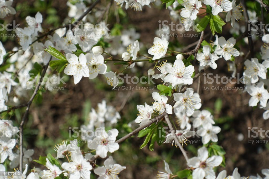 Close up of white five petaled plum flowers stock photo