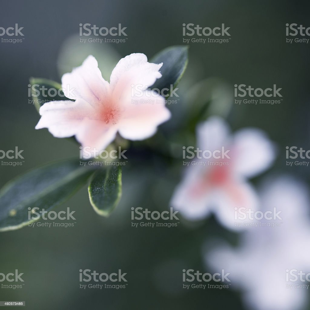 Close up of white flower bud background royalty-free stock photo