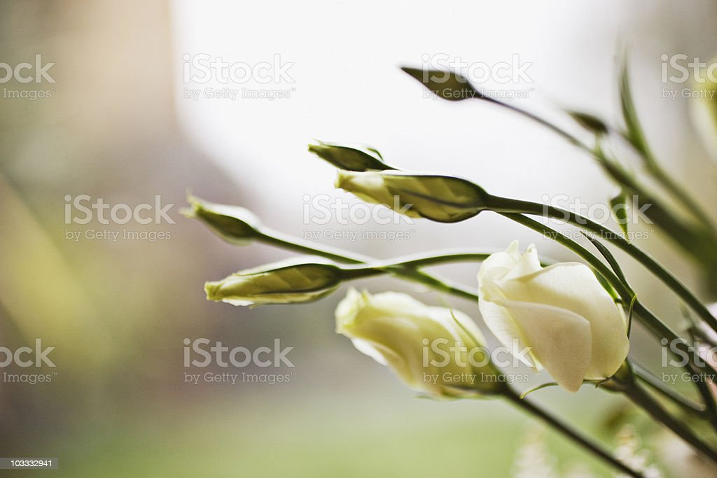 Close up of white flowers blooming royalty-free stock photo