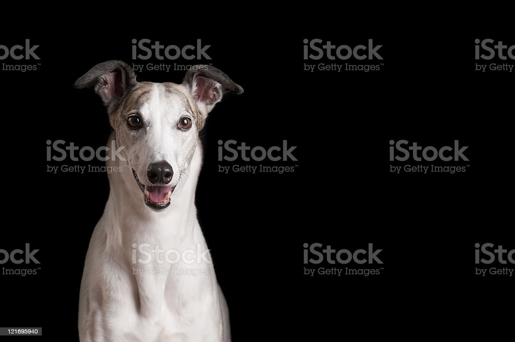 Close up of white greyhound against black background stock photo