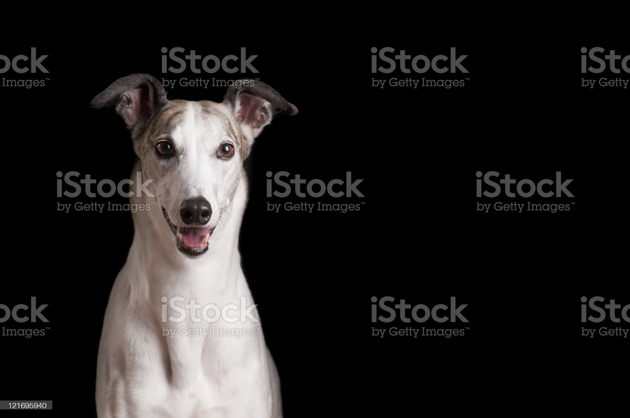 Close up of white greyhound against black background royalty-free stock photo