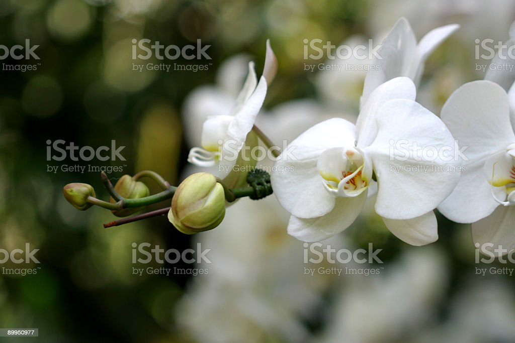 A close up of white orchids in bloom royalty-free stock photo