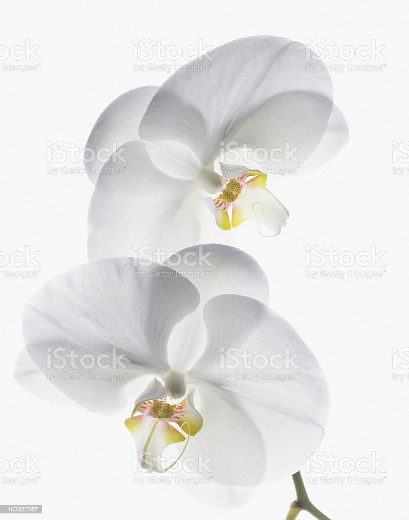 Close up of white orchids on stem stock photo