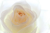 Close up of White Rose on the isolated backgrounds
