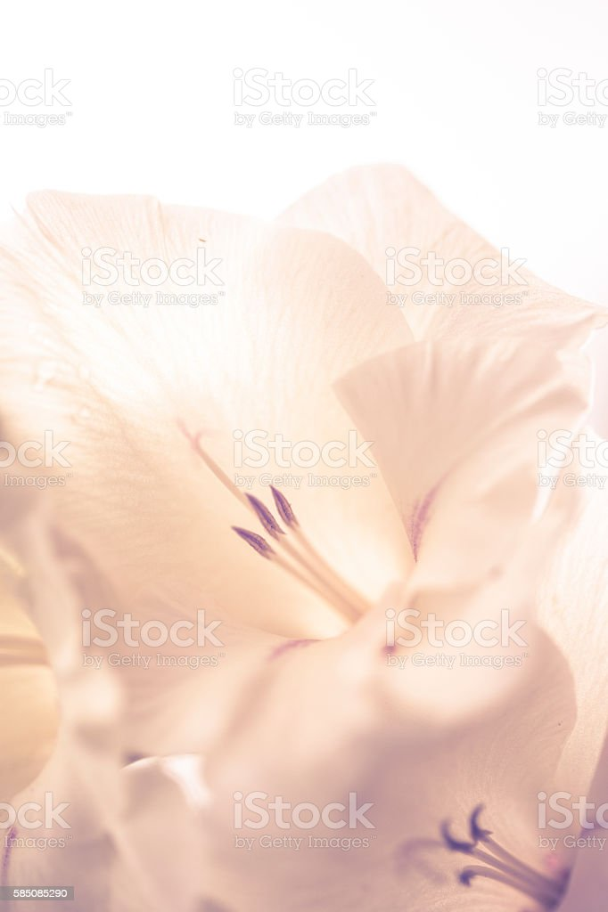 Close up of white Sword Lily flower. stock photo