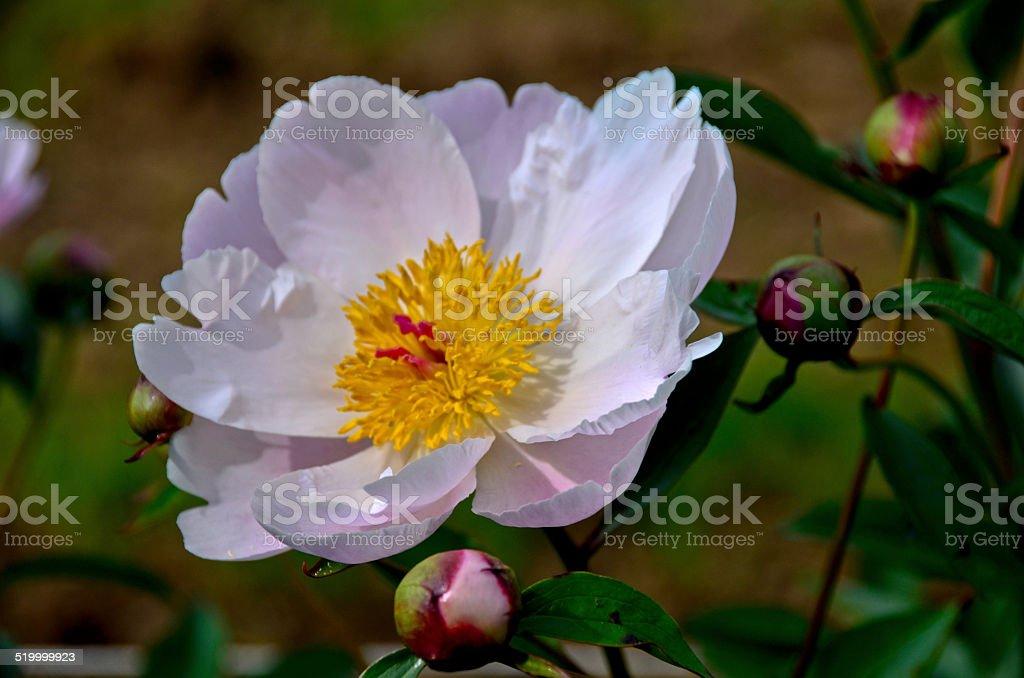 Крупный план белый/розовый пион in full bloom» Стоковые фото Стоковая фотография
