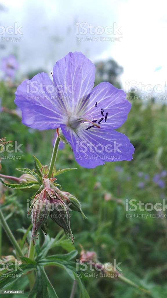 Close up of wild Blue Cranesbill flower in summer meadow stock photo