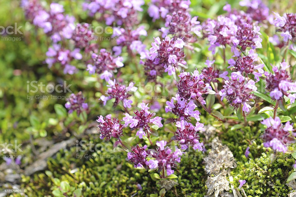 Close up of wild thyme flowers stock photo