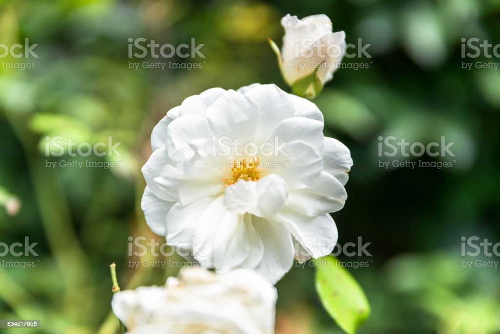 Close up of withering rose flower stock photo