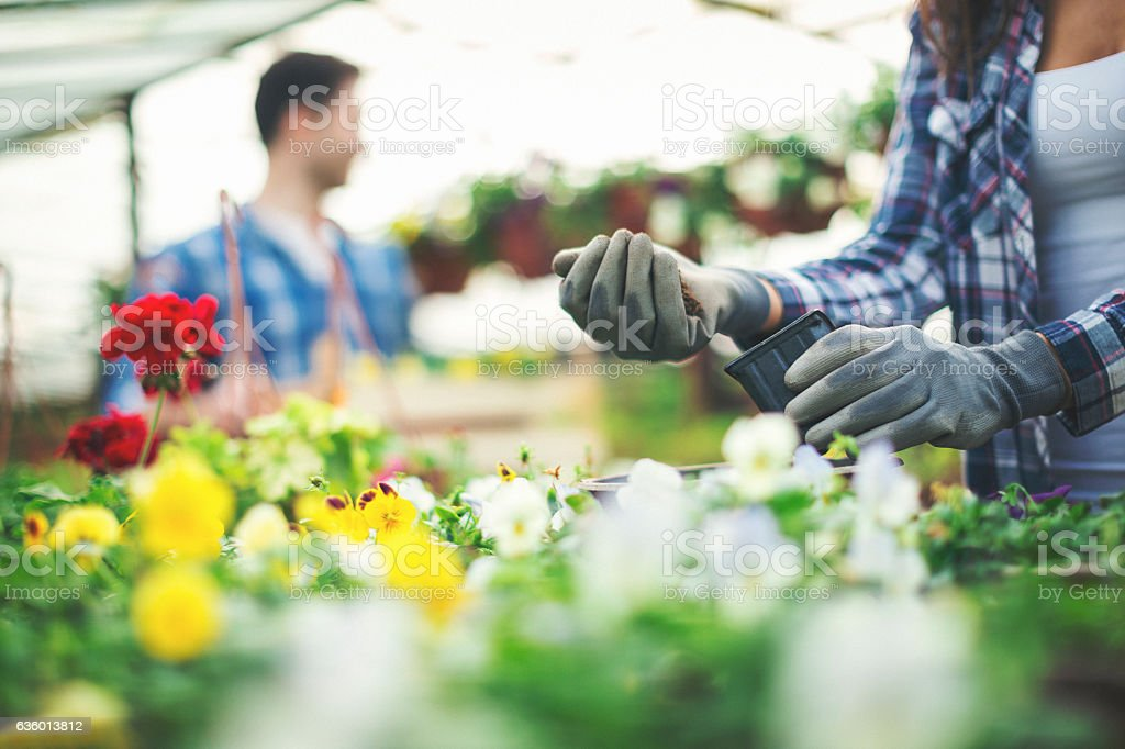 Close up of woman hands taking care of flowers stock photo