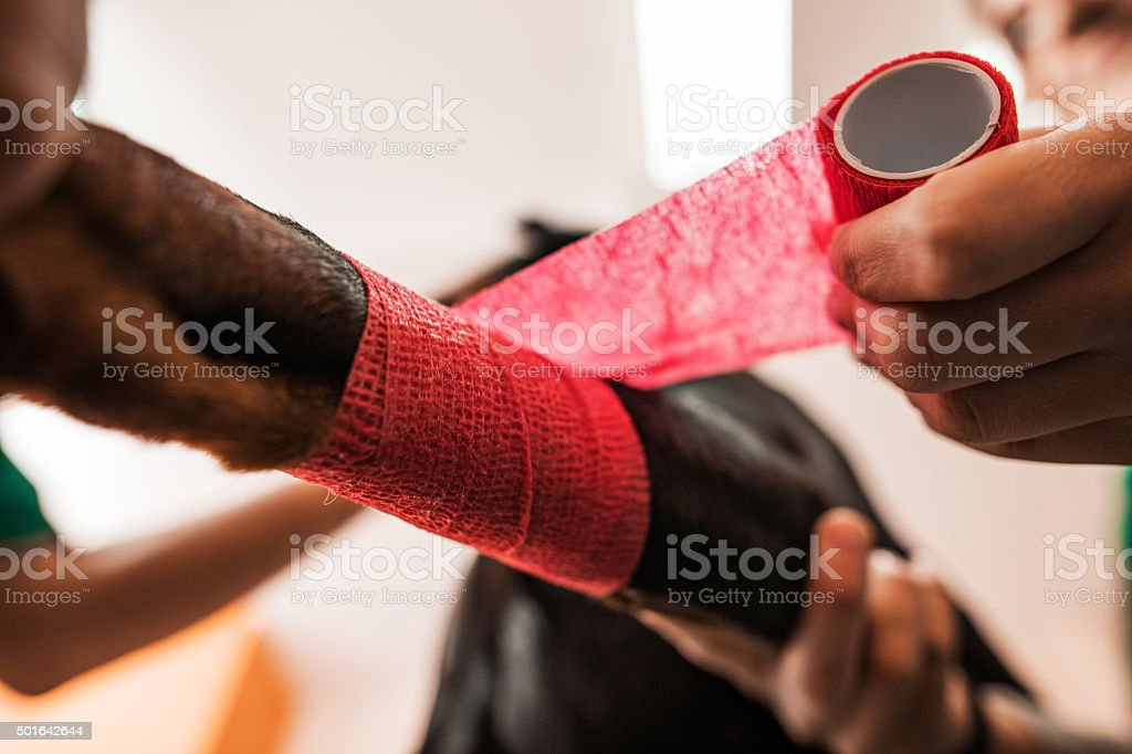 Close up of wrapping dog's leg in a bandage. stock photo