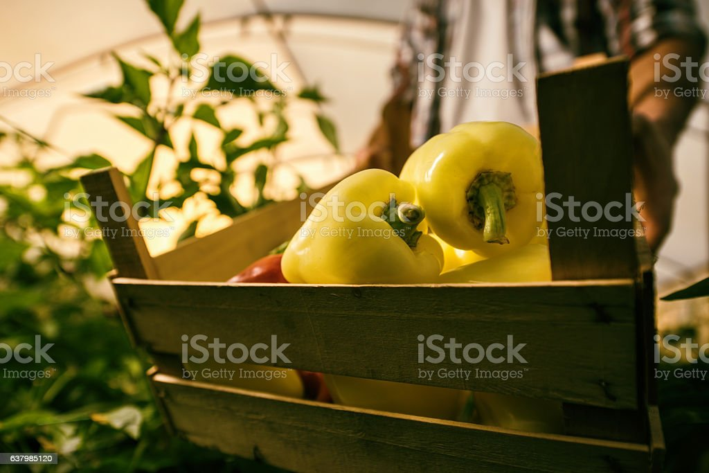 Close up of yellow bell peppers in a wooden crate. stock photo