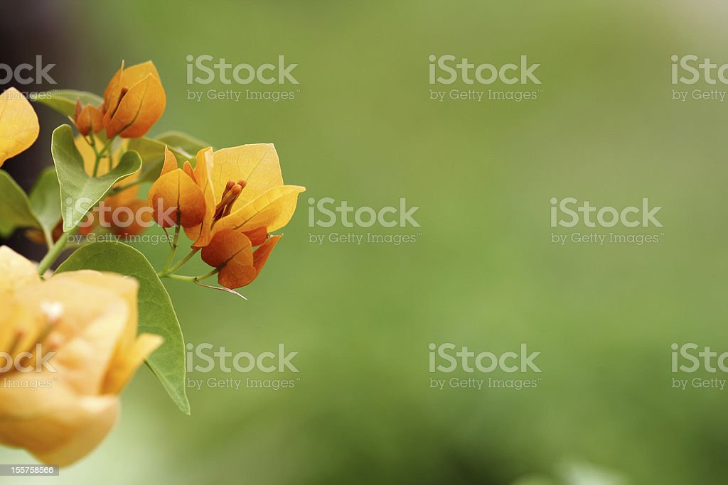 Close up of yellow bougainvillea flower. stock photo