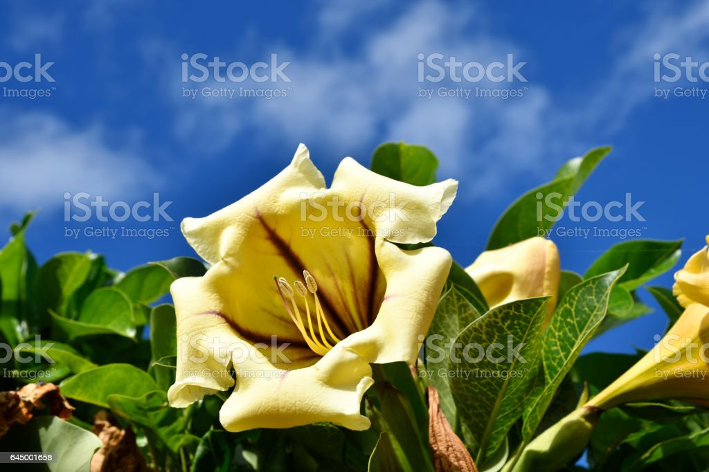 Close up of yellow Brugmansia flowe stock photo