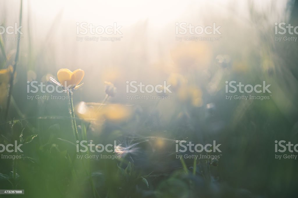 A close up of yellow buttercups in a meadow stock photo